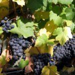 キングオブワイン!?偉大なるブルゴーニュワインを知ろう!